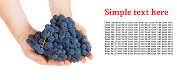 Blue grapes in female hands with space for text Stock Photos