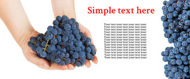 Blue grapes in female hands with space for text Stock Images