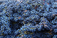 Blue grapes harvest Stock Image
