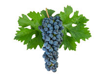 Blue grapes on leaves Stock Photo