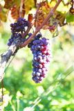 Blue grapes photo Royalty Free Stock Photography