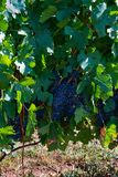 Blue grapes on plant. Some clusters of ripe blue grapes hanging on plants in a vineyard stock images