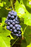 Blue Grapes prosper well at the housewall. Grapes prosper well at the housewall because of the sunshine and the warmness Stock Photography