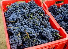 Blue grapes in red boxes Stock Photo