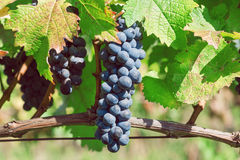 Blue grapes ripening on the branch of farm. Vineyard with organic grape shoots at harvest time. Stock Photo