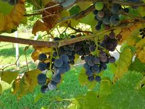 Blue grapes in the sun Royalty Free Stock Photography