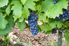 Blue grapes on a tree. Wine grape variety in the province of Paris stock photo