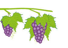 Blue grapes vector. Decoration concept Royalty Free Stock Images