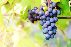 Blue grapes on vine Stock Photos