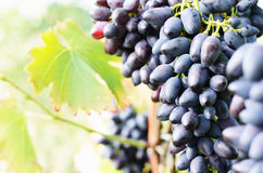 Blue grapes on vine Royalty Free Stock Images