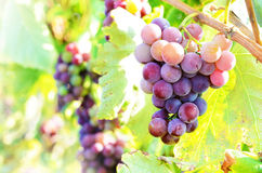 Blue grapes on vine Royalty Free Stock Image