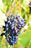Blue grapes on vine Stock Photography