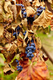 Blue grapes on a vine, closeup Stock Image