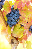 Blue grapes on vine Royalty Free Stock Photography