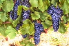 Blue Grapes Vine Stock Images