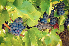 Blue grapes on a vine in France Royalty Free Stock Photos