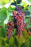 Blue grapes on a vine plant Stock Photography
