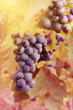 Blue grapes on vine Stock Images