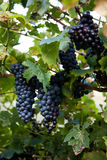 Blue grapes in the vine on a vine on Lake Garda Stock Photo