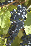 Blue grapes in vine yard Stock Images