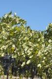 Blue grapes in vine yard Stock Photo
