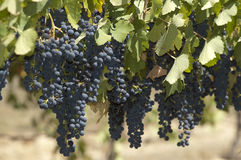 Blue grapes in vine yard Royalty Free Stock Photos