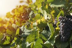 Blue grapes in vine yard Royalty Free Stock Image