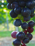 Blue grapes in vineyard Royalty Free Stock Images