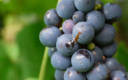 Blue grapes in the vineyard Royalty Free Stock Images