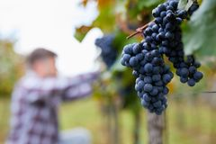 Blue grapes in the vineyard with blurred man in background stock images