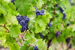 Blue grapes in the vineyard stock images