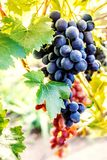Blue grapes in a vineyard close up. Ripe red wine grapes Royalty Free Stock Photo