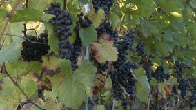 Blue grapes in a vineyard. A couple of ripe blue grapes hanging in a vineyard waiting to be harvested stock video