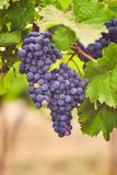 Blue grapes in the vineyard stock image