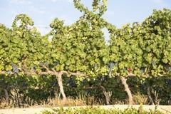 Blue Grapes Vineyard Stock Photos