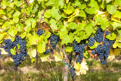 Blue grapes in vineyard Stock Photography