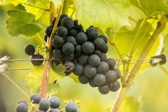 Blue Grapes (Vitis vinifera). Blue ripe tasty grapes (Vitis vinifera Stock Images