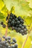 Blue Grapes (Vitis vinifera). Blue ripe tasty grapes (Vitis vinifera Stock Image
