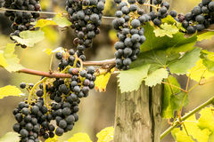 Blue Grapes (Vitis vinifera). Blue ripe tasty grapes (Vitis vinifera Royalty Free Stock Photography