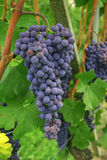 Blue grapes for wine Stock Photography