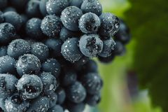 Blue grapes for winemaking. Grapes on a branch. Grapes in the vineyard. Vineyards italy.  Stock Photography