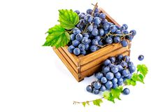 Blue grapes in wooden box vine pruner. royalty free stock photos
