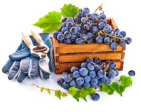 Blue grapes in wooden box vine pruner. Royalty Free Stock Photo