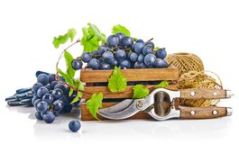 Blue grapes in wooden box with vine pruner still life glove green leaf, on white background. Stock Photos