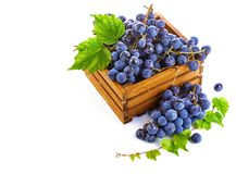 Blue grapes in wooden box vine pruner. stock images