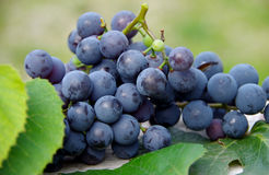 Blue grapes Royalty Free Stock Images