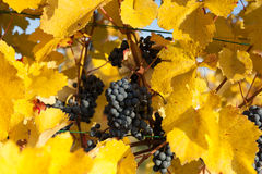 Blue grapes with yellow leaves Royalty Free Stock Photos