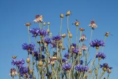 Blue grass flower Stock Photos