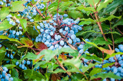 Blue-gray Berry mahonia. In the summer garden Royalty Free Stock Image