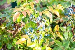Blue-gray Berry mahonia Stock Image